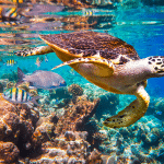 maldivas buceo tortuga