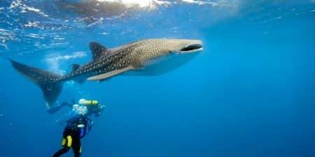 Vacaciones en Maldivas: bucear con el tiburón ballena