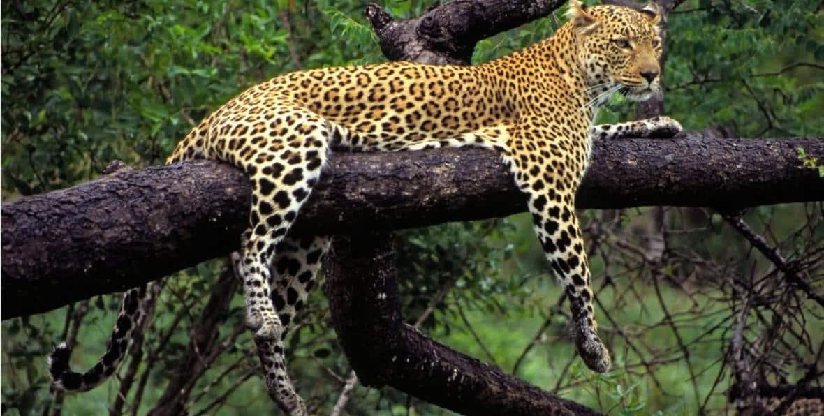 Guepardo descansando en un arbol del Parque de Yala